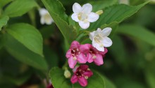 はこねうつぎ(箱根空木)Weigela coraeensis (1)