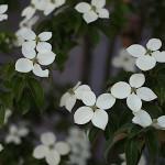 やまぼうし (山法師、山帽子)Benthamidia japonica (1)
