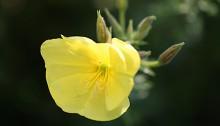 おおまつよいぐさ大待宵草)Oenothera erythrosepala (2)