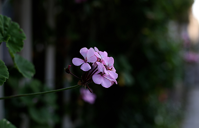ゼラニューム Specularia perfoliata (1)