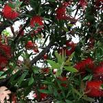きんぽうじゅ金宝樹=ブラシノ木)Callistemon speciosus (3)