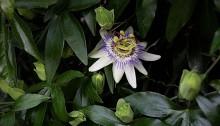 とけいそう(時計草)Passiflora caerulea (2)