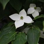 やまぼうし (山法師、山帽子)Benthamidia japonica (2)