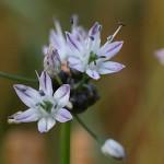 のびる (野蒜)Allium macrostemon (3)