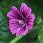 ぜにあおい(銭葵)Malva sylvestris var. mauritiana