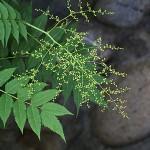 にわななかまど(庭七竈)Sorbaria kirilowii