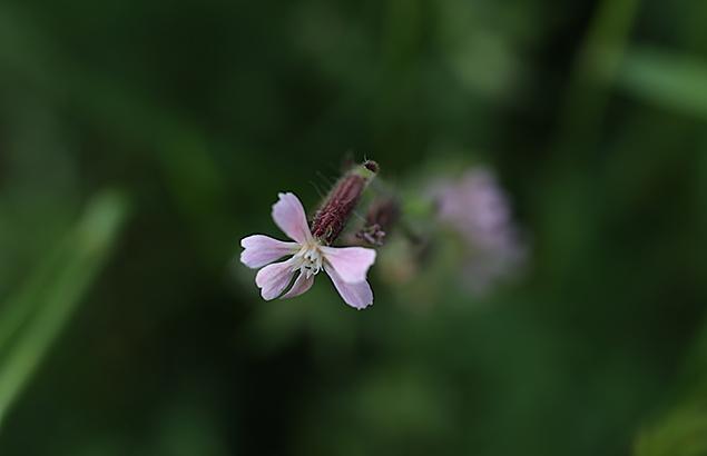 しろばなまんてま(白花マンテマ)Silene gallica var. gallica (4)