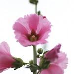 たちあおい (立葵)Althaea rosea (4)