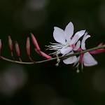 はくちょうそう (白蝶草 )Gaura lindheimeri (4)