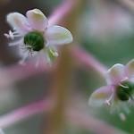 アメリカやまごぼう(亜米利加山牛蒡)Phytolacca americana (3)