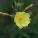 おおまつよいぐさ大待宵草)Oenothera erythrosepala (1)