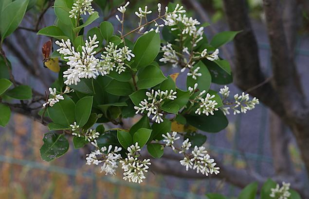 とうねずみもち (唐鼠黐)Ligustrum lucidum (1)