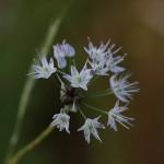 のびる (野蒜)Allium macrostemon (1)