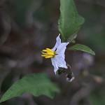 わるなすび(悪茄子)Solanum carolinense (2)