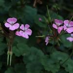 ゼラニューム Specularia perfoliata (4)