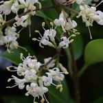 とうねずみもち (唐鼠黐)Ligustrum lucidum (3)