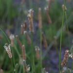 へらおおばこ(箆大葉子)Plantago lanceolata (4)