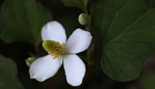 どくだみ(蕺草)Houttuynia cordata (1)