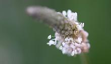 へらおおばこ(箆大葉子)Plantago lanceolata (3)