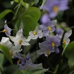 つるはななす(蔓花茄子)Solanum jasminoides (2)