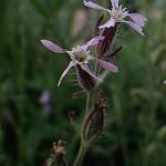 しろばなまんてま(白花マンテマ)Silene gallica var. gallica (2)