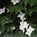 やまぼうし (山法師、山帽子)Benthamidia japonica (3)