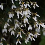 ゆきのした(雪の下)Saxifraga stolonifera (2)