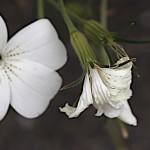 むぎせんのう(麦仙翁)Agrostemma githago (4)