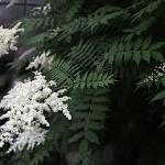 にわななかまど(庭七竈)Sorbaria kirilowii (4)