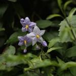 つるはななす(蔓花茄子)Solanum jasminoides (4)