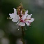 はくちょうそう (白蝶草 )Gaura lindheimeri (3)