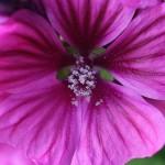 ぜにあおい(銭葵)Malva sylvestris var. mauritiana (2)