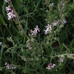 しろばなまんてま(白花マンテマ)Silene gallica var. gallica (1)