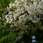 にわななかまど(庭七竈)Sorbaria kirilowii (2)