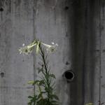 890.ユリ(百合)Lilium (12)
