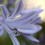 アガパンサスAgapanthus (3)