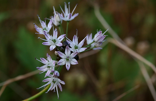 のびる (野蒜)Allium macrostemon (4)