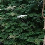にわななかまど(庭七竈)Sorbaria kirilowii (1)