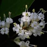 とうねずみもち (唐鼠黐)Ligustrum lucidum (4)