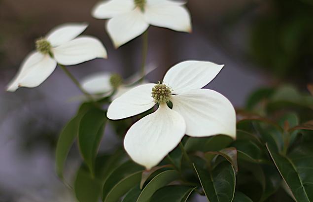 やまぼうし (山法師、山帽子)Benthamidia japonica