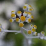 しろたえぎく(白妙菊)Senecio cineraria (1)