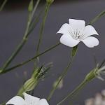 むぎせんのう(麦仙翁)Agrostemma githago (3)