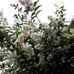 うつぎ(空木)Deutzia crenata (2)