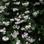 うつぎ(空木)Deutzia crenata (4)