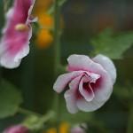 たちあおい (立葵)Althaea rosea (1)