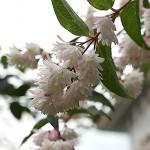 うつぎ(空木)Deutzia crenata