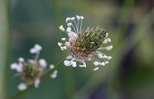 へらおおばこ(箆大葉子)Plantago lanceolata