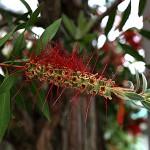 きんぽうじゅ金宝樹=ブラシノ木)Callistemon speciosus (1)