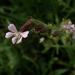 しろばなまんてま(白花マンテマ)Silene gallica var. gallica