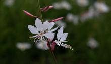 はくちょうそう (白蝶草 )Gaura lindheimeri (1)